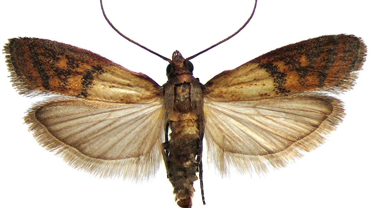 Cannibalistic pantry moths prove a key principle of evolution
