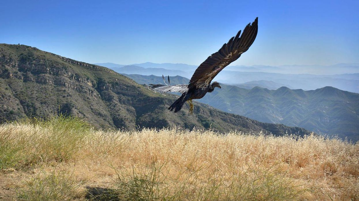 Indigenous Tribe Leads Efforts to Reintroduce Condors to Pacific Northwest