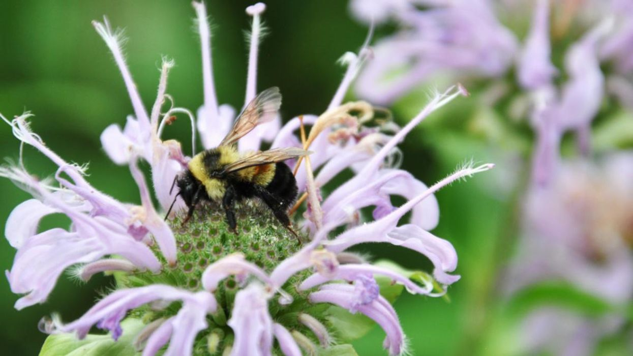 Chicago, a 'Sweet Home' for an Endangered Bee?