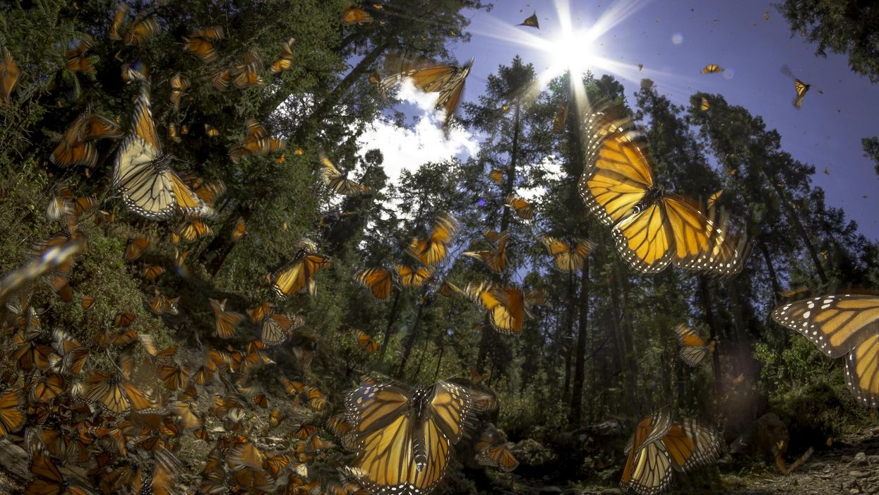 Butterfly population collapse linked to climate change