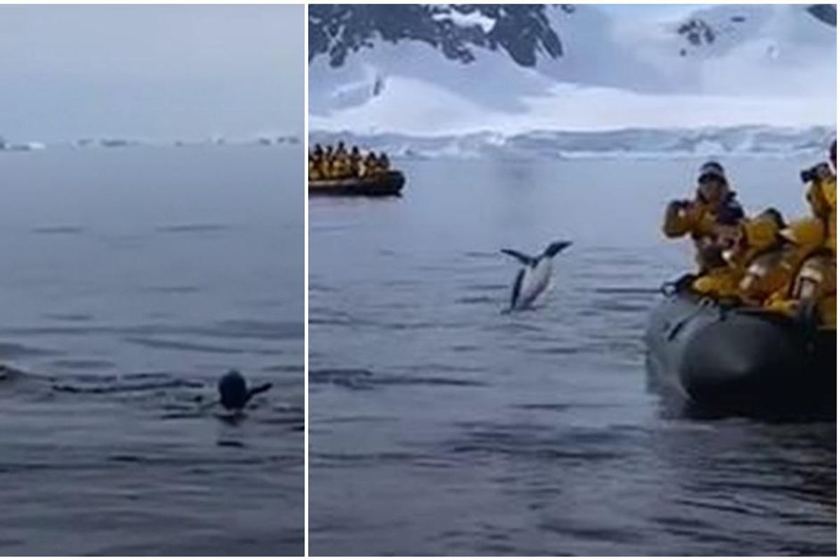 A brave penguin evades hungry killer whales by taking a last-chance leap of faith