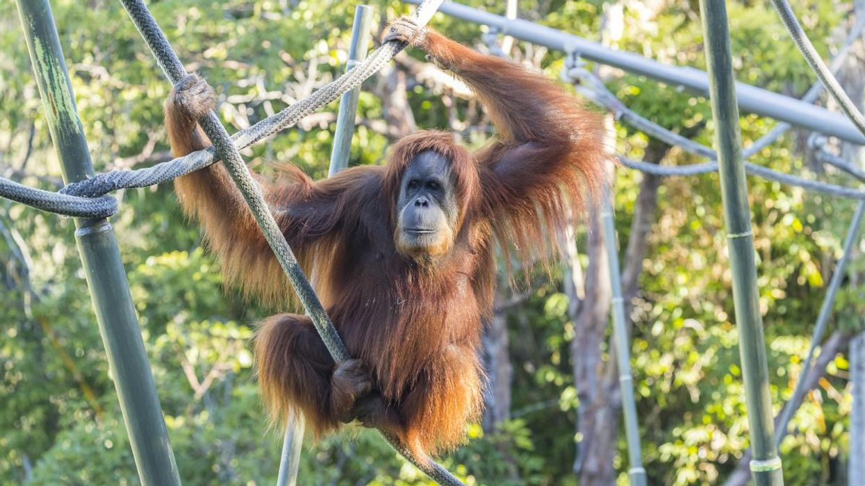 Endangered Great Apes Receive COVID-19 Vaccine at San Diego Zoo