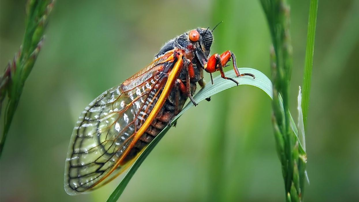 Billions of Cicadas May Soon Be Coming to Trees Near You