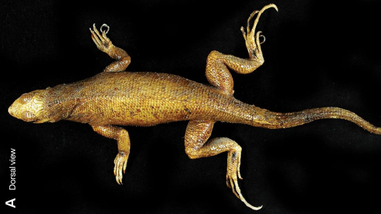 The Lost Lizard of La Désirade: An Extinction We Almost Forgot About