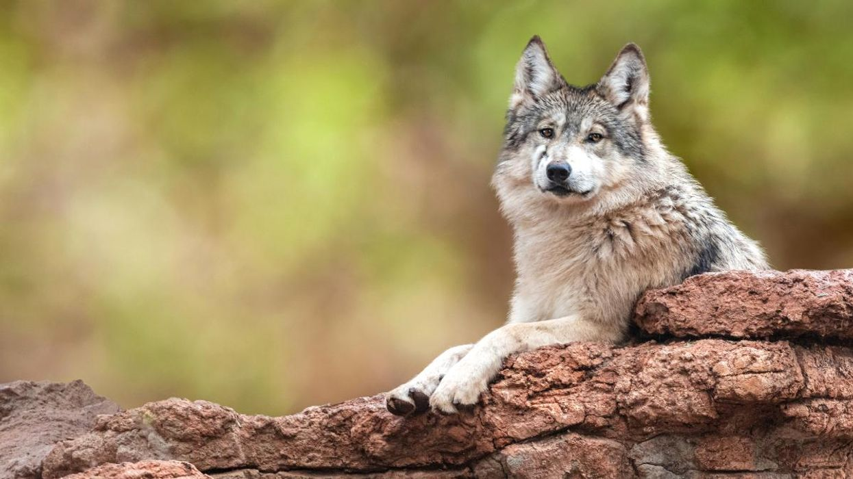 Protections for Mexican Gray Wolves Vital to Prevent Poaching, Study Finds