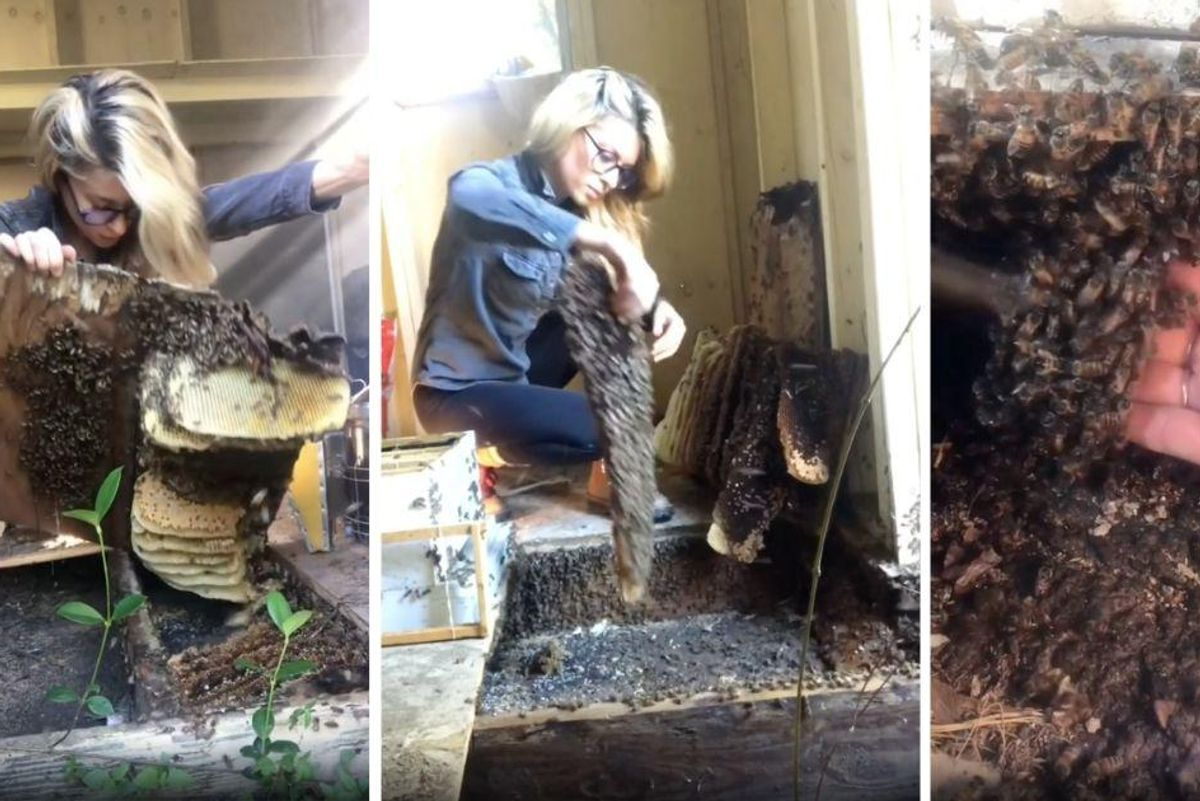 Beekeeper removes a huge bee colony from a shed with her bare hands and people are awed