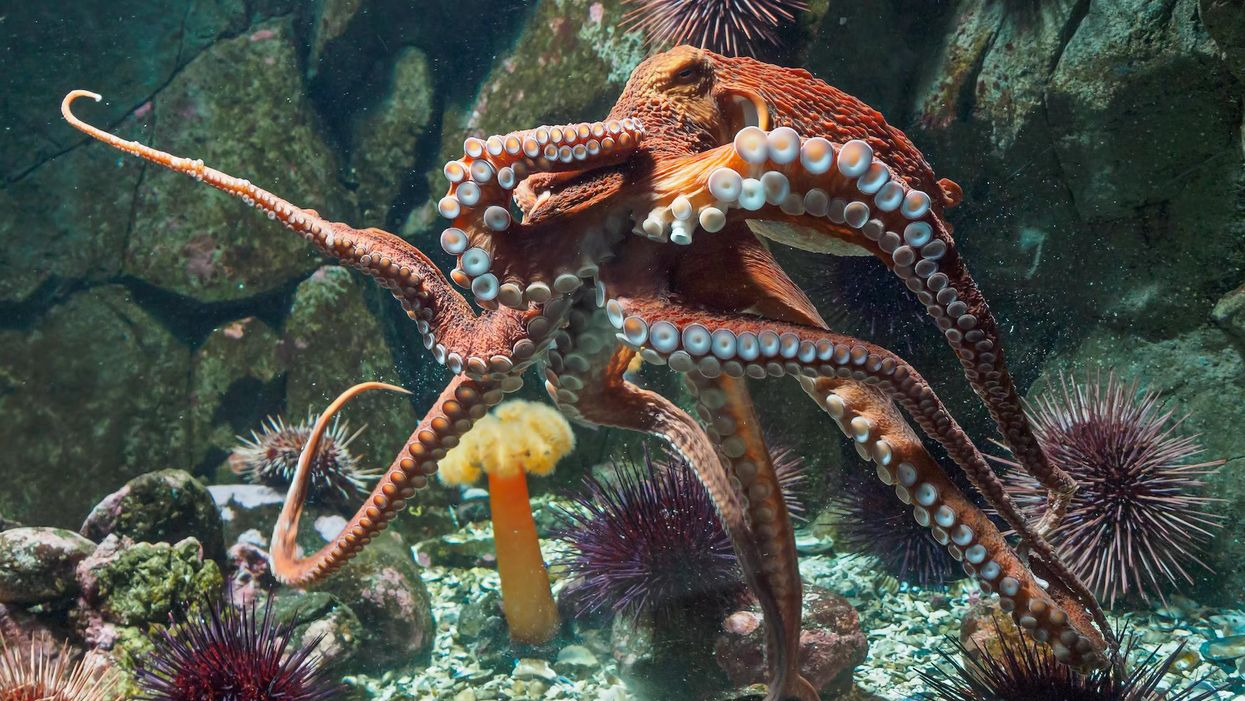 New research reveals why some octopuses punch fish