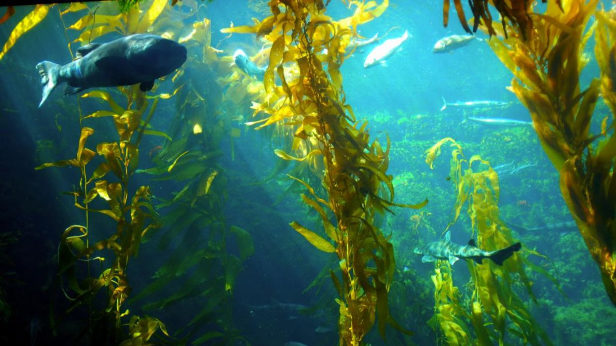 Move Over, Corn and Soybeans: Giant Sea Kelp Could Be the Next Biofuel Source