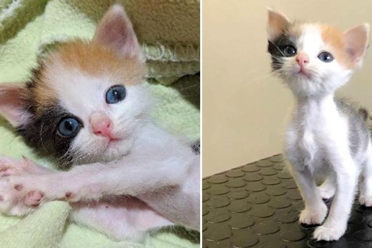 Kitten with Small Body but Strong Will to Live Transforms into Gorgeous Calico Cat