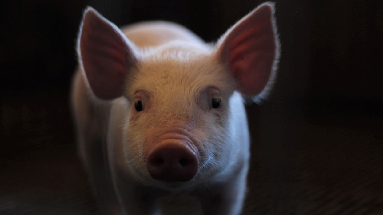A young pig looks at the camera from a dark room.