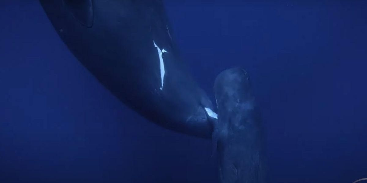 Here's the first ever footage of a baby sperm whale nursing from its mother
