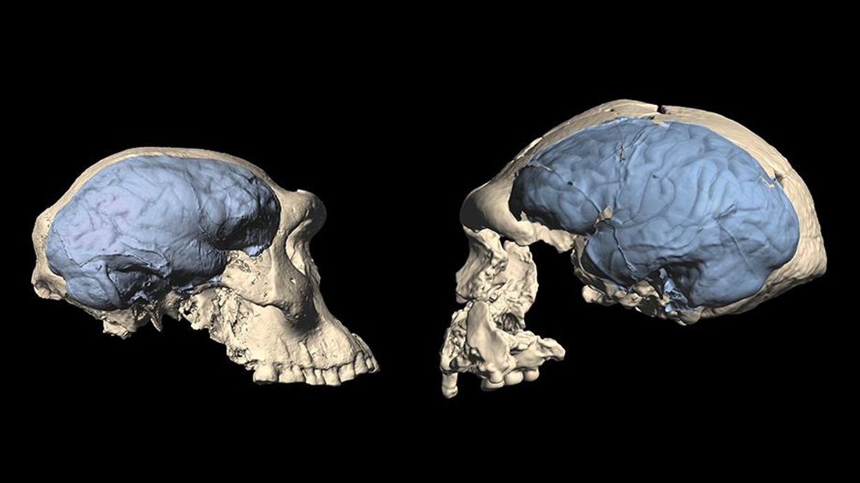 Our ancestors first developed humanlike brains 1.7 million years ago