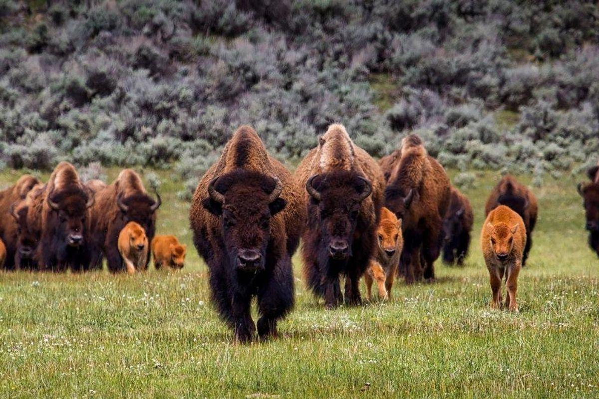 Denver donates bison to Cheyenne and Arapaho nations, citing conservation and reparation