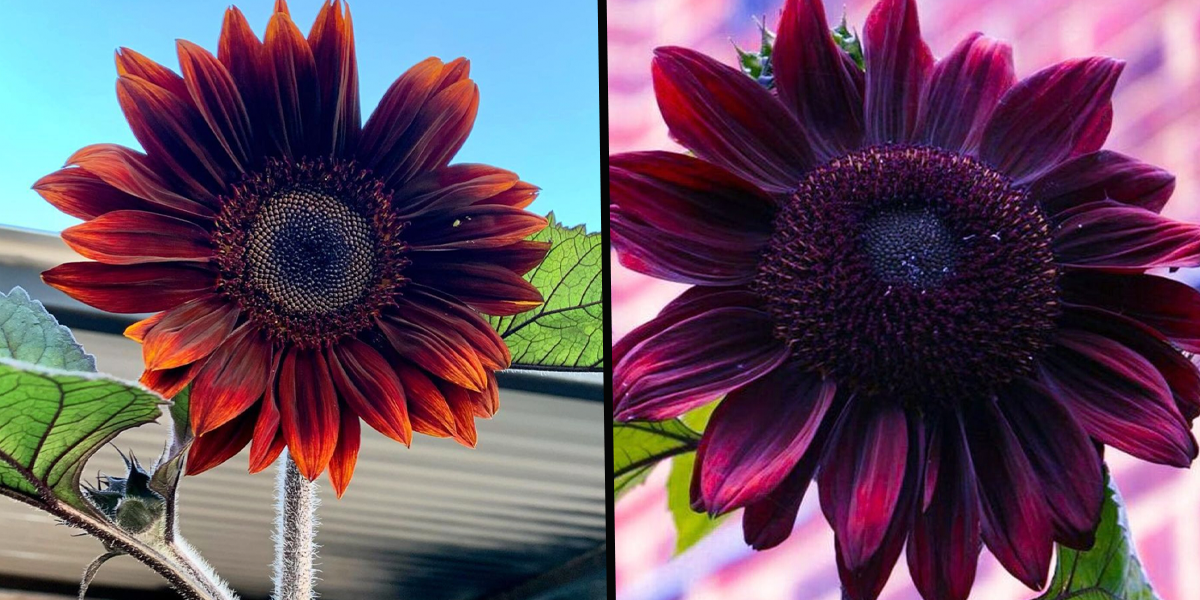 You Can Plant Chocolate Cherry Sunflowers and I Need Them Immediately