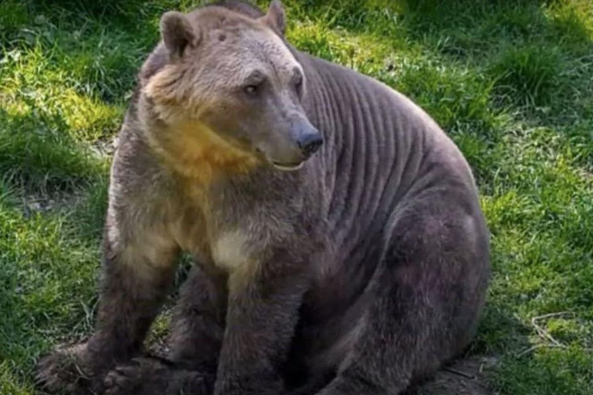 The climate crisis has led to a strange new animal hybrid. Meet the 'pizzly bear.'