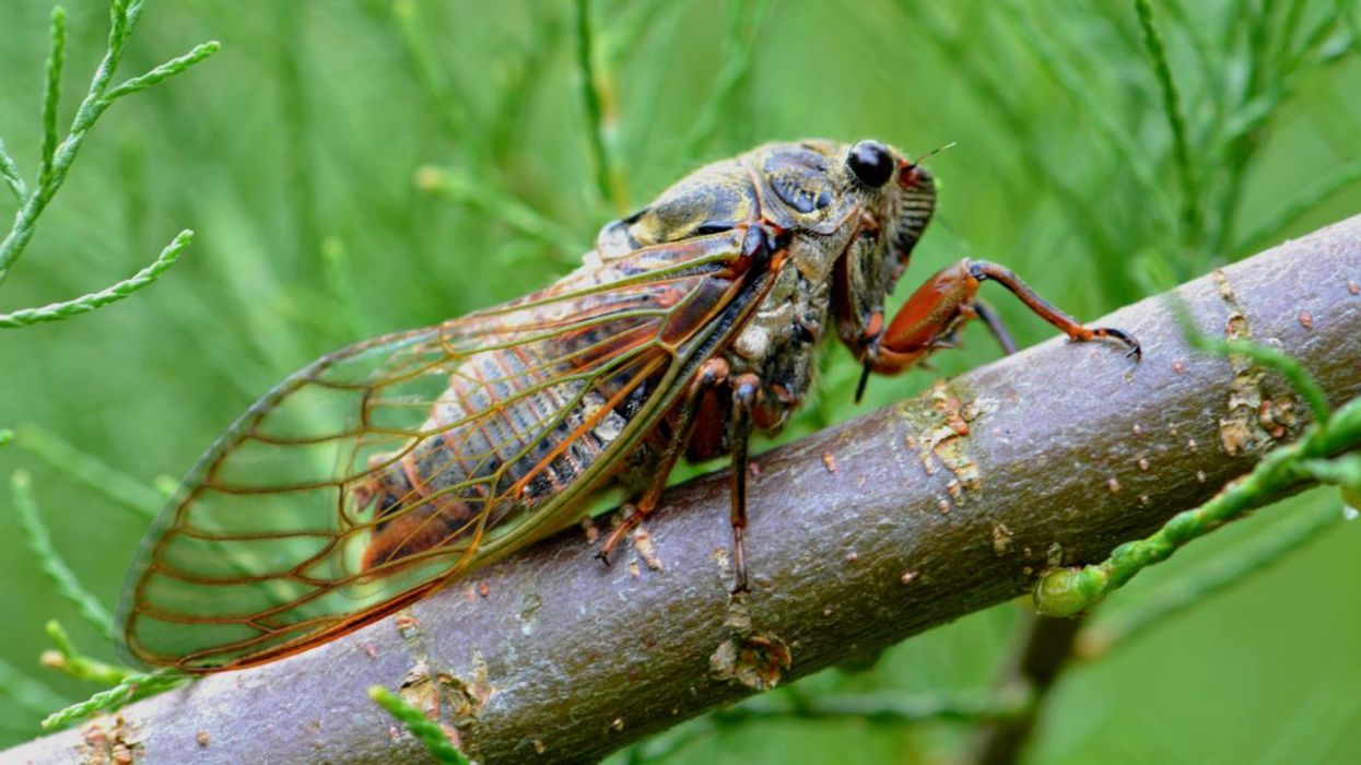 Cicadas Are Coming and Scientists Need Your Help Finding Them