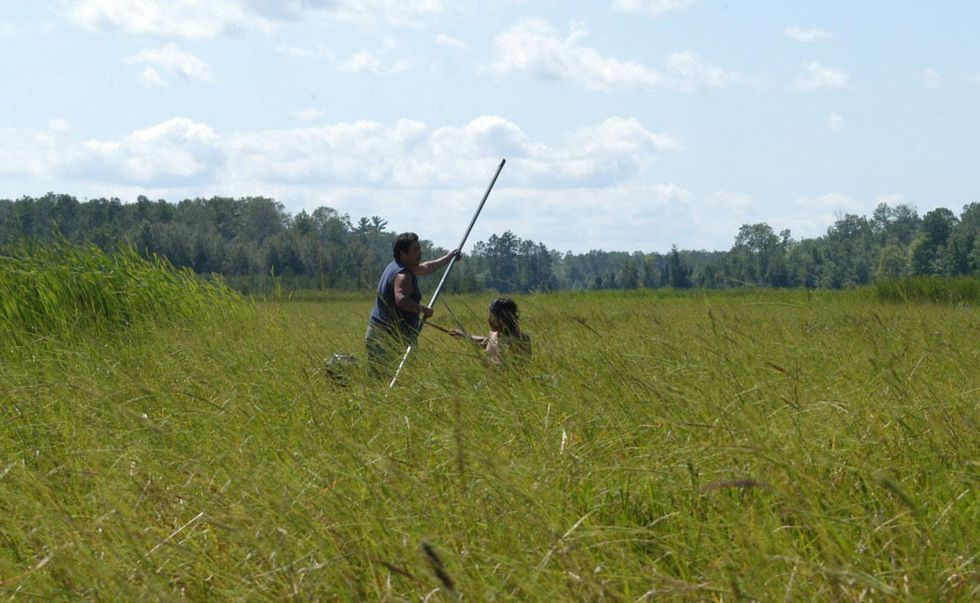 Wild rice Great lakes tribes