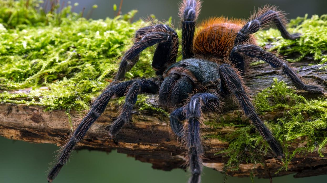 Tarantulas: How 120-million-year-old creatures conquered the globe