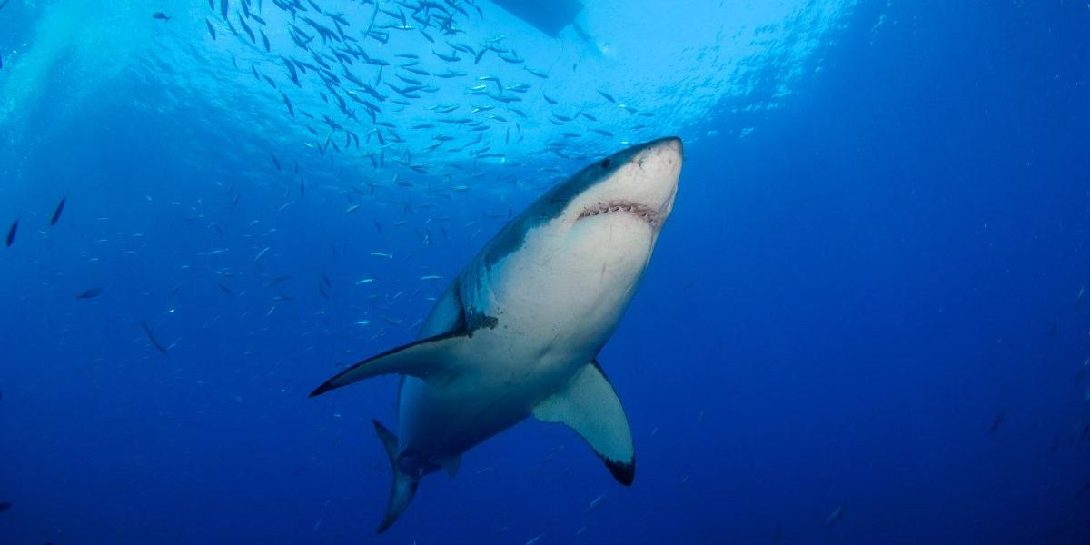 Following Rumors of Poaching, Scientists Discover Great White Shark Population in California's Gulf