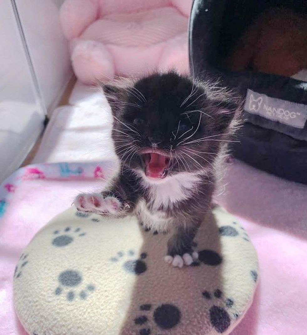 Singing, talking cat, tuxedo kitten, paws