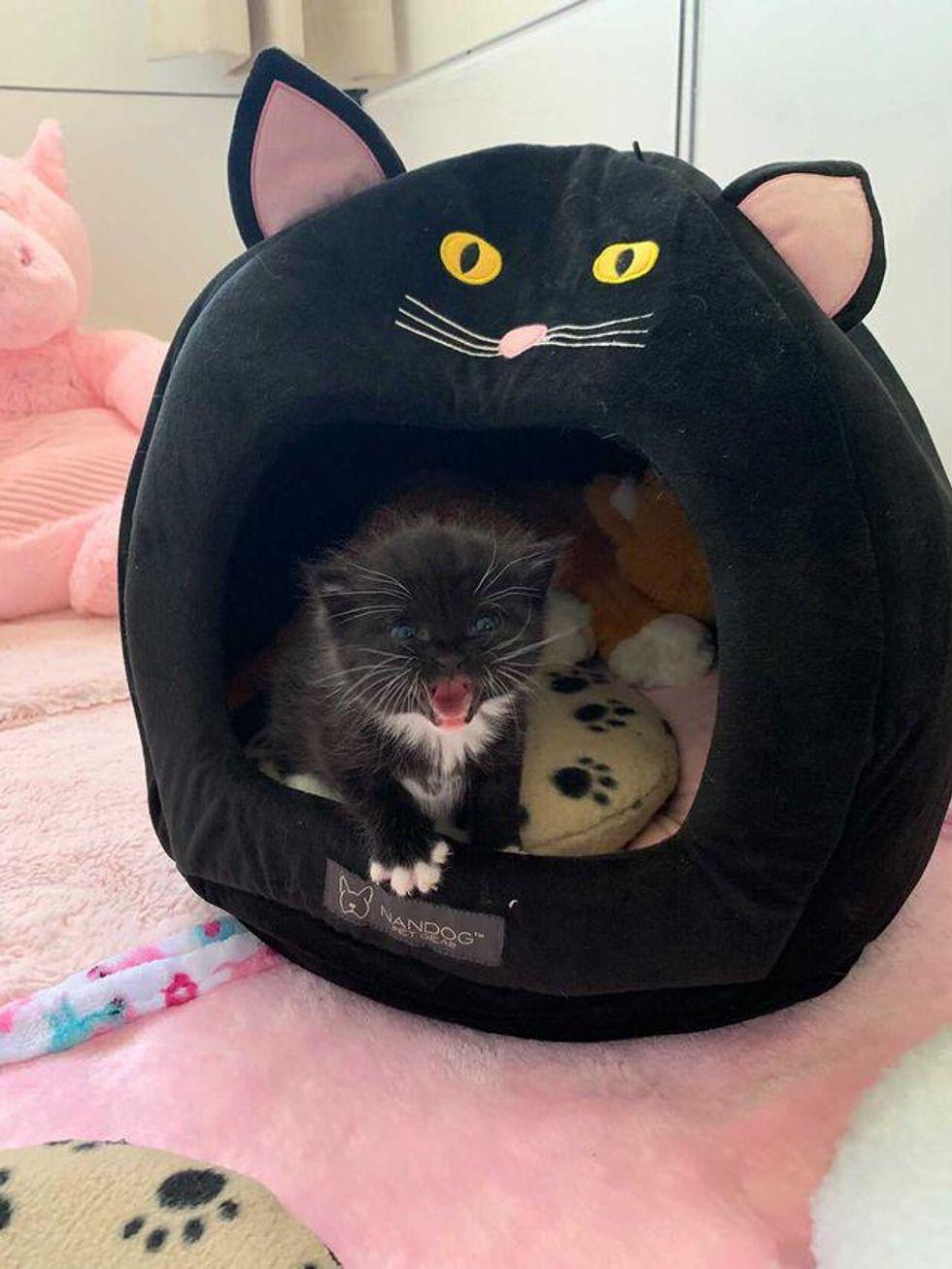 Tuxedo kitten, talking cat, princess peeping