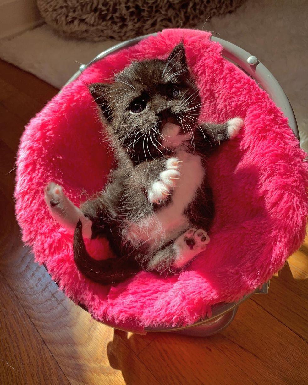 Tuxedo kitten, pink chair, cute