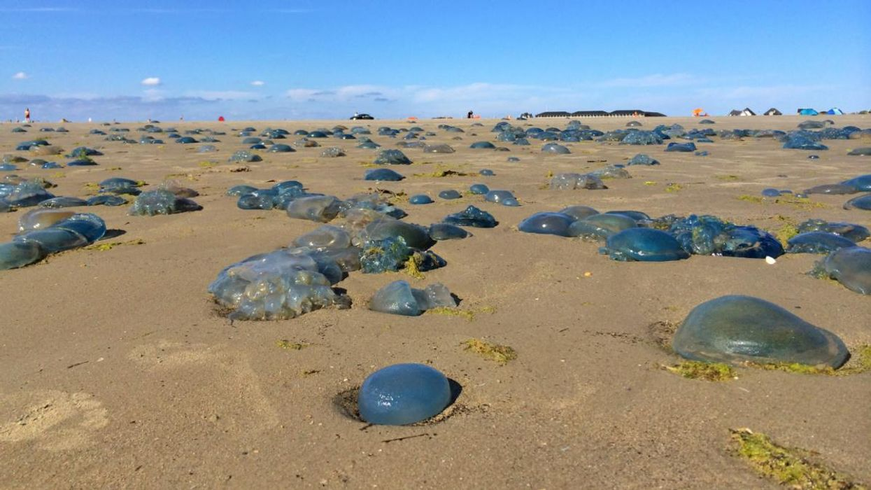 Jellyfish May Benefit From Climate Change