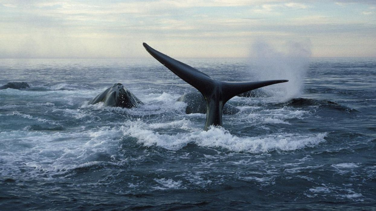 Endangered North Atlantic Right Whales Experience Highest Birth Rate Since 2015