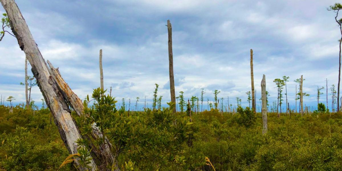 Sea Level Rises Kill Trees on Atlantic Coast, Creating 'Ghost Forests' Visible From Space