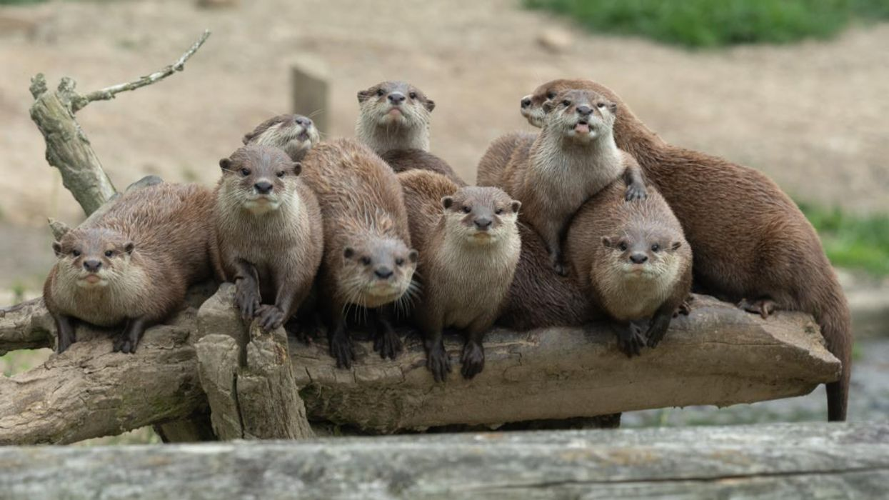 Shining a Species Spotlight on the Asian Small-Clawed Otter