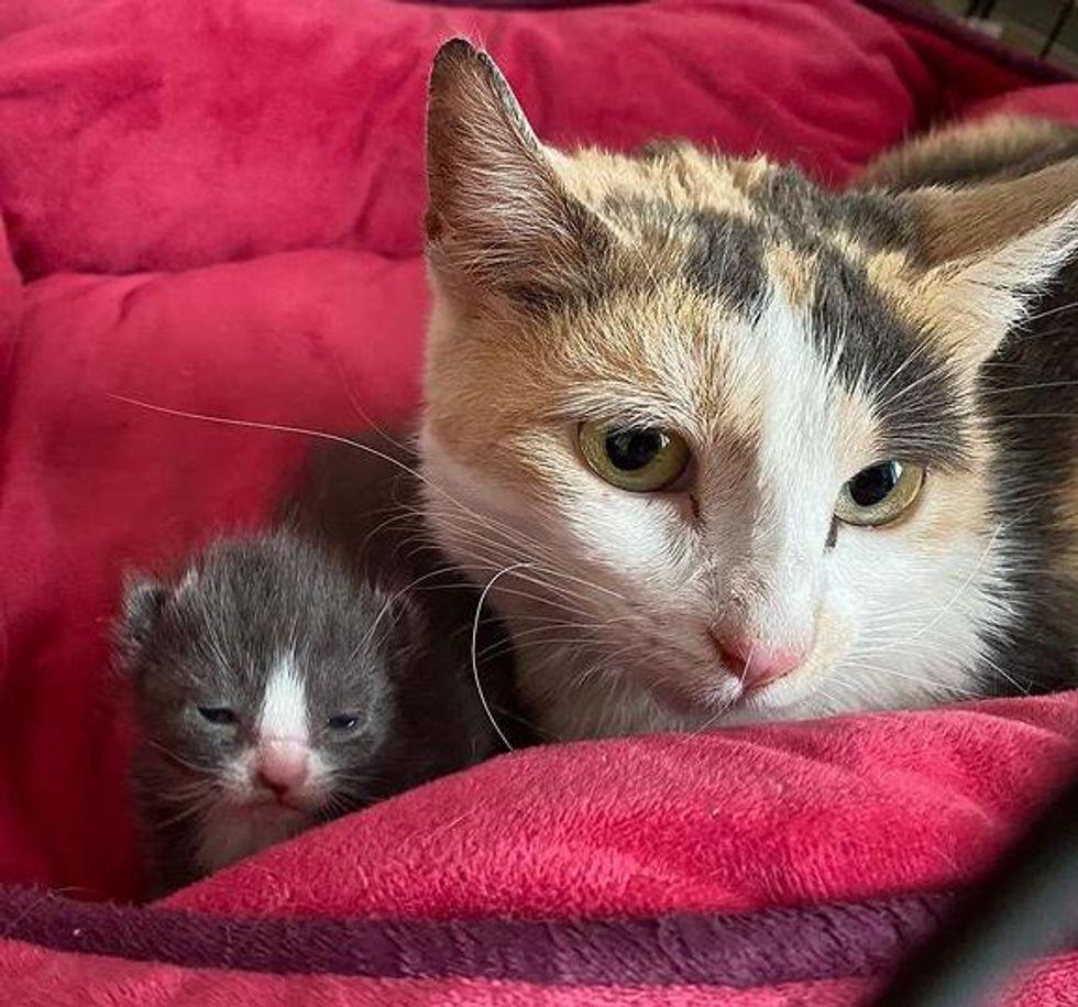 tiny kitten, calico cat,