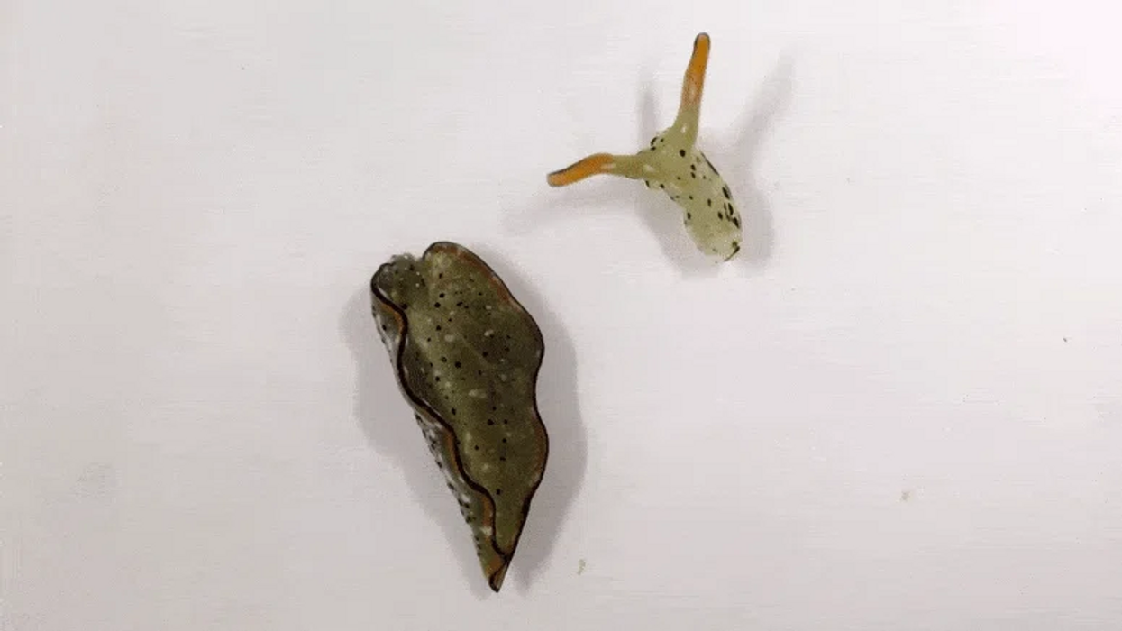 Scientists discover slug that can decapitate itself, grow new body