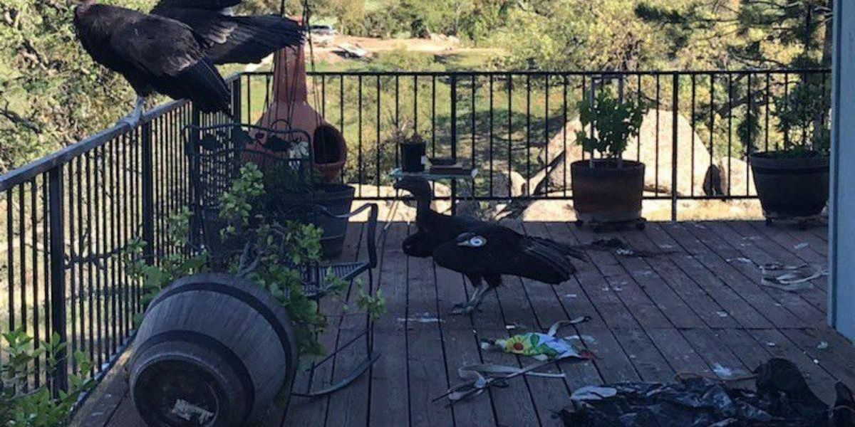 Group of endangered California condors wreak total havoc on a woman's porch
