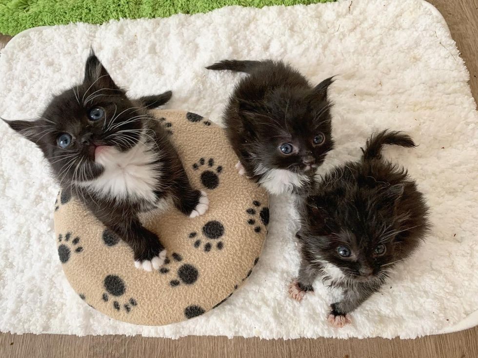 cute kittens, tuxedos