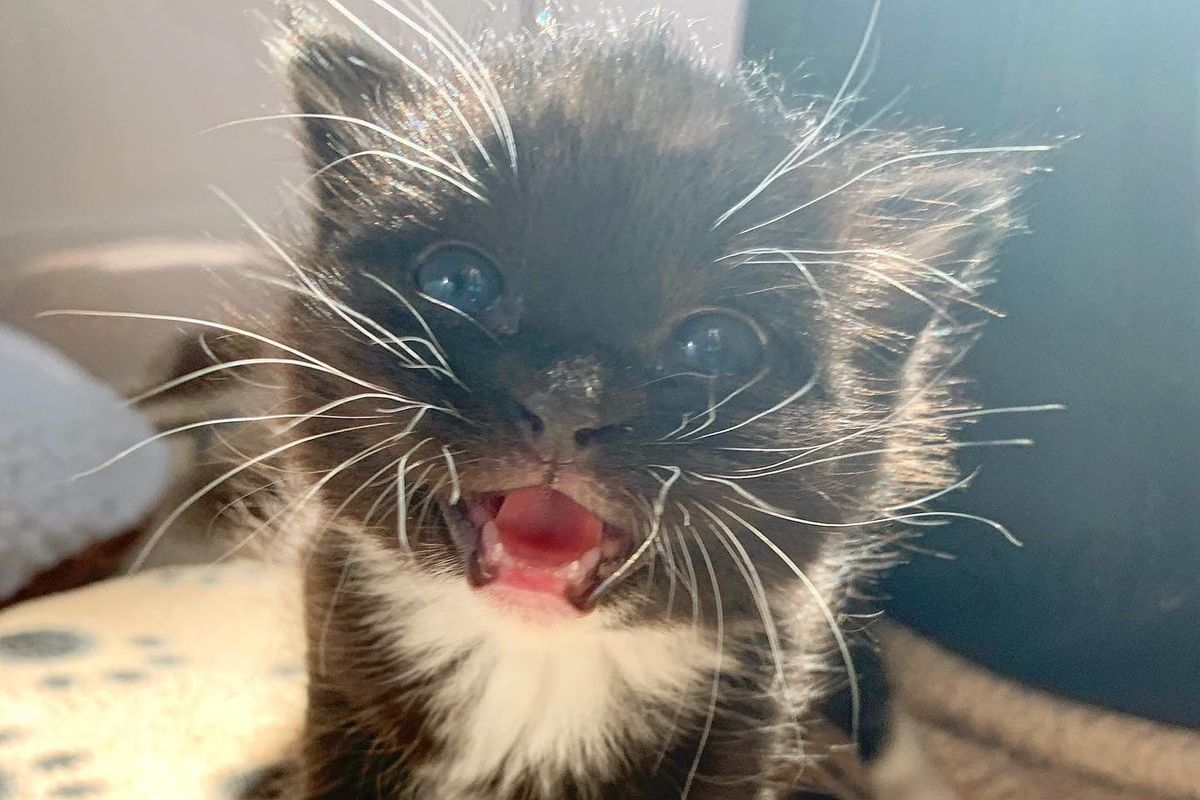 Kitten with So Much Sass Trills Her Way into Hearts of Family