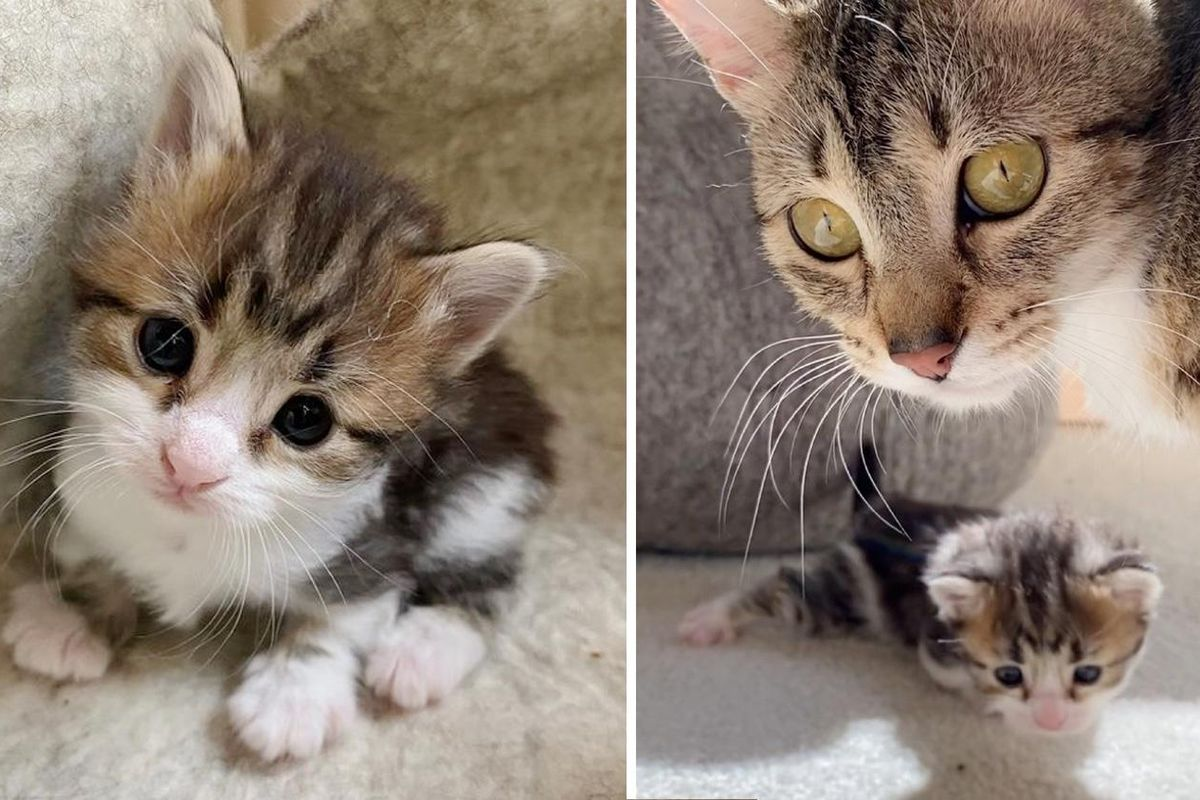 Kitten with Bent Paws Learns to Walk with Encouragement From Cat Mother