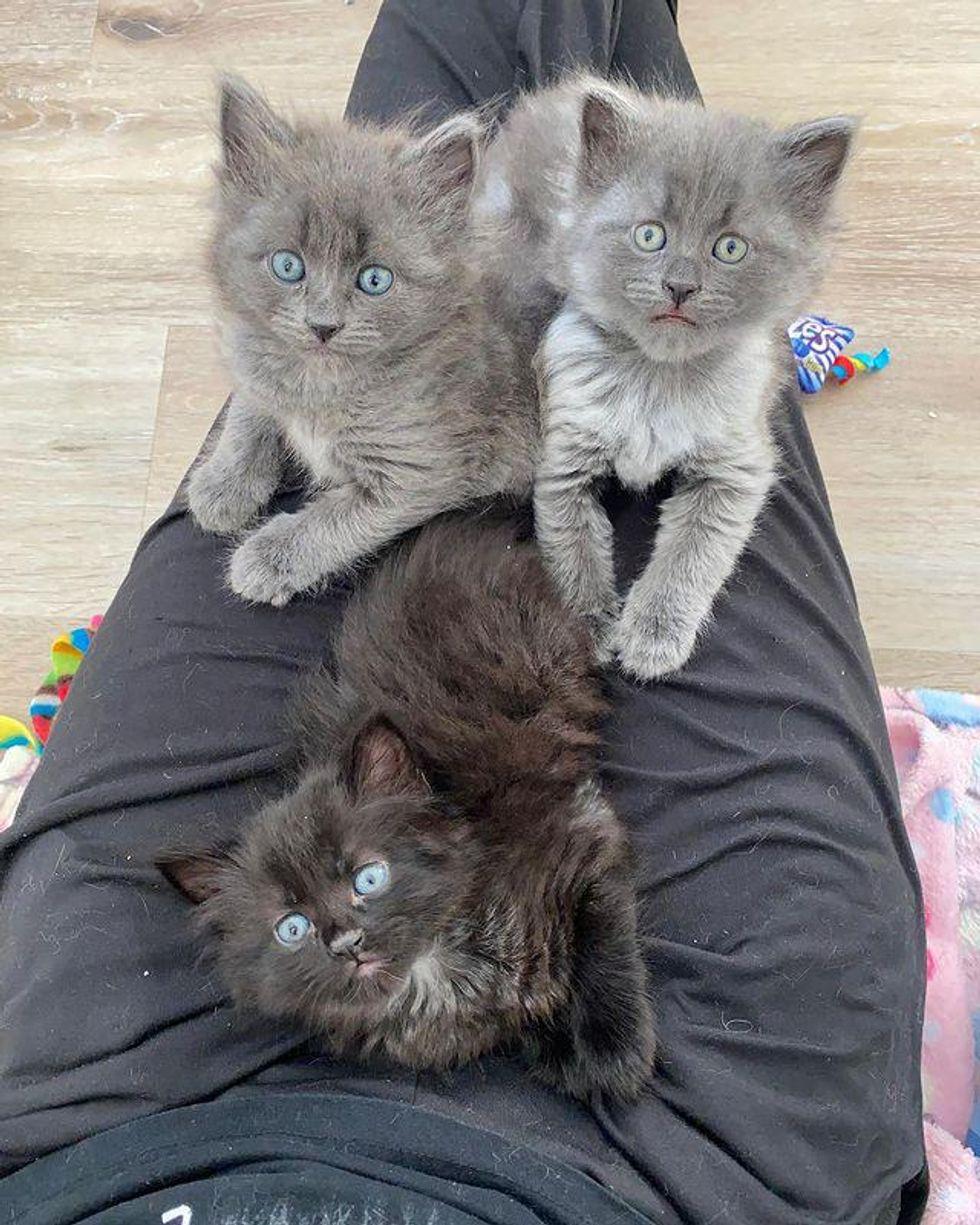 lap kittens, cute