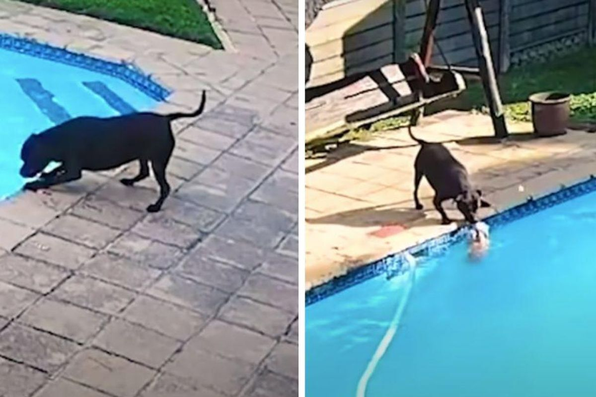 Heroic dog saves her best friend from drowning in the backyard swimming pool