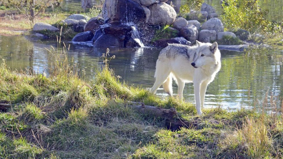 Bill Allowing 90 Percent of Idaho's Wolves to Be Killed Passes House and Senate