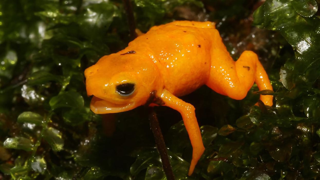 Discovered: A tiny, glowing, poisonous, singing toadlet