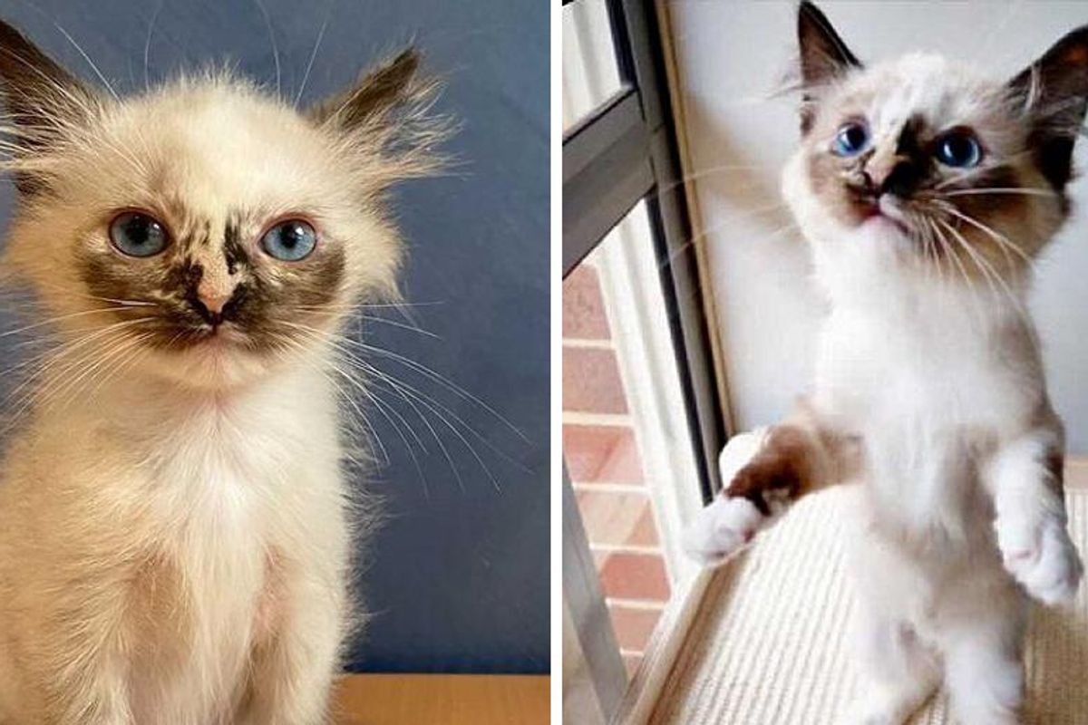 """Pint-sized Kitten """"Glowing Up"""" into Gorgeous Siamese After Being Brought Back to Life"""