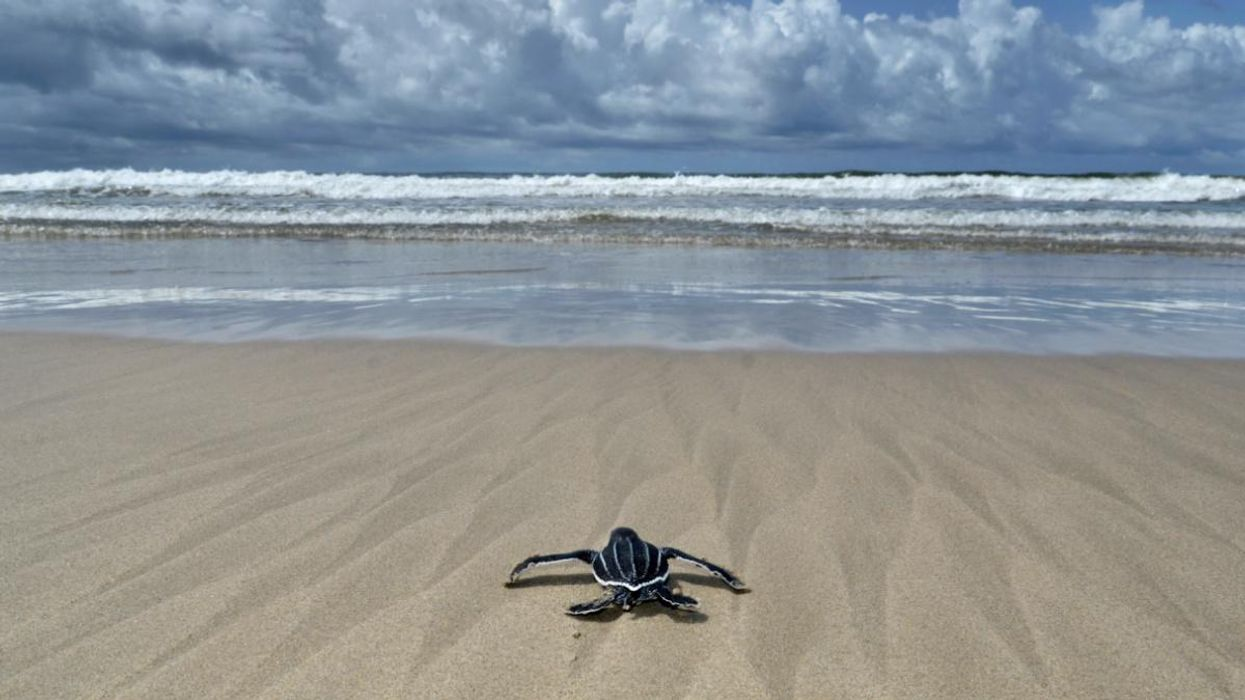 Pacific Leatherback Sea Turtles Face Extinction Without Immediate Conservation Efforts