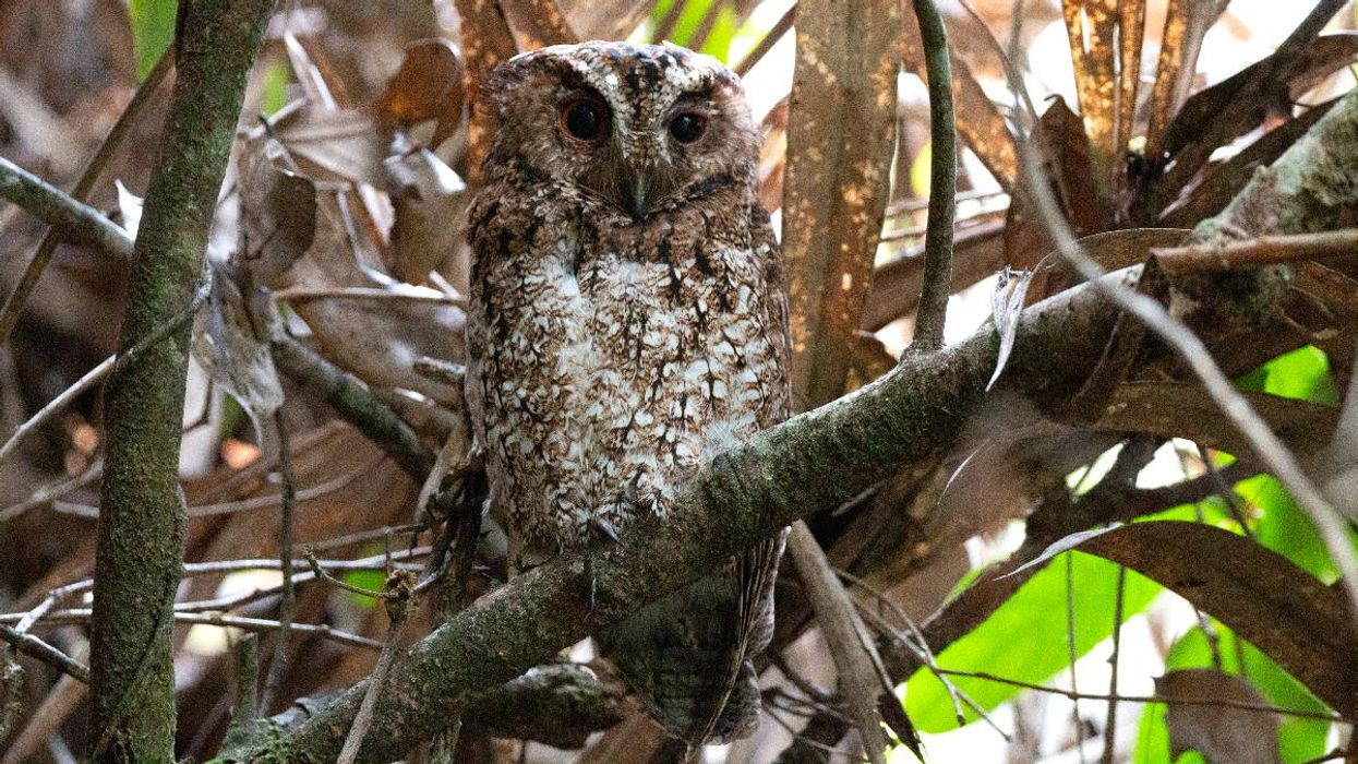 Could Rediscovery of Rare Owl Be a Hopeful Sign for Other 'Lost Birds'?