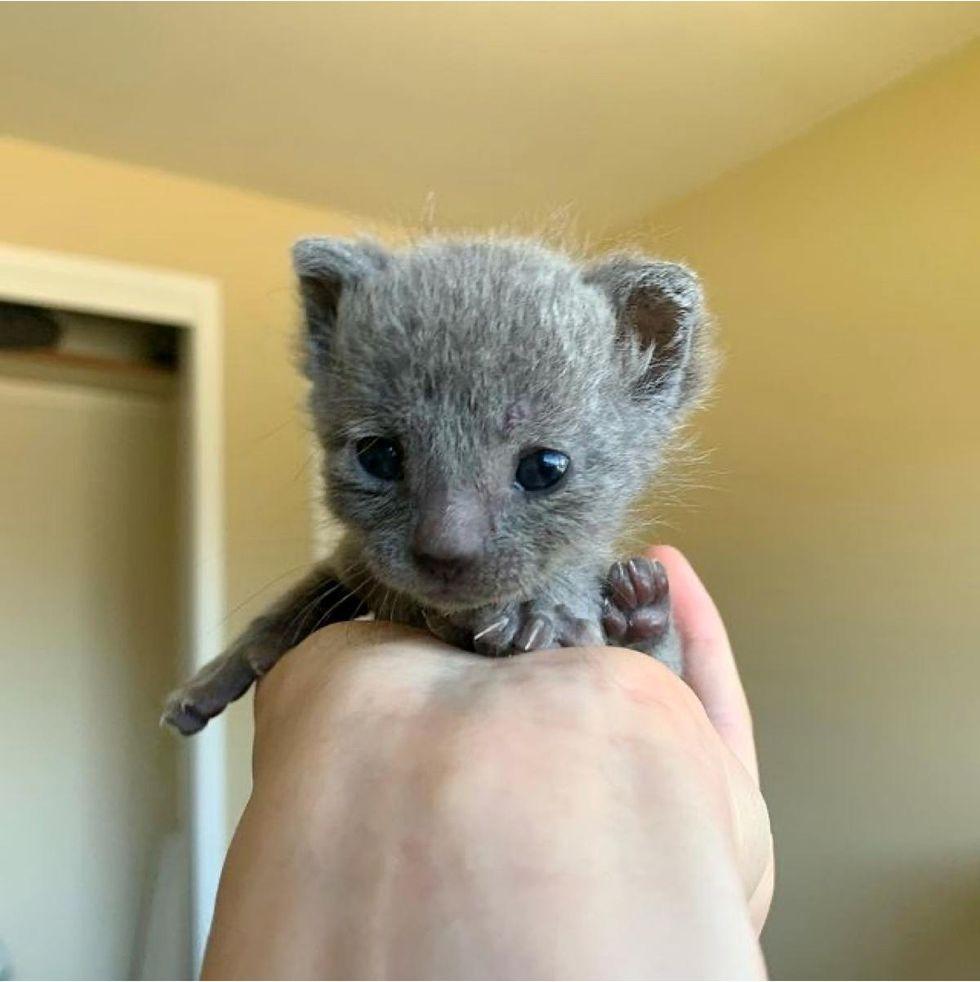 fuzzy, kitten, palm-sized
