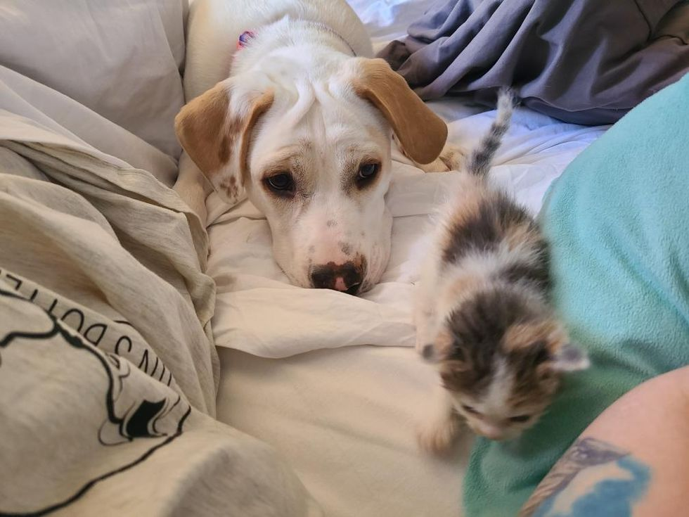 puppy, kitten, calico