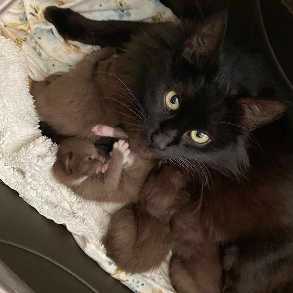 black cat, cat mom, brown kittens, rare brown
