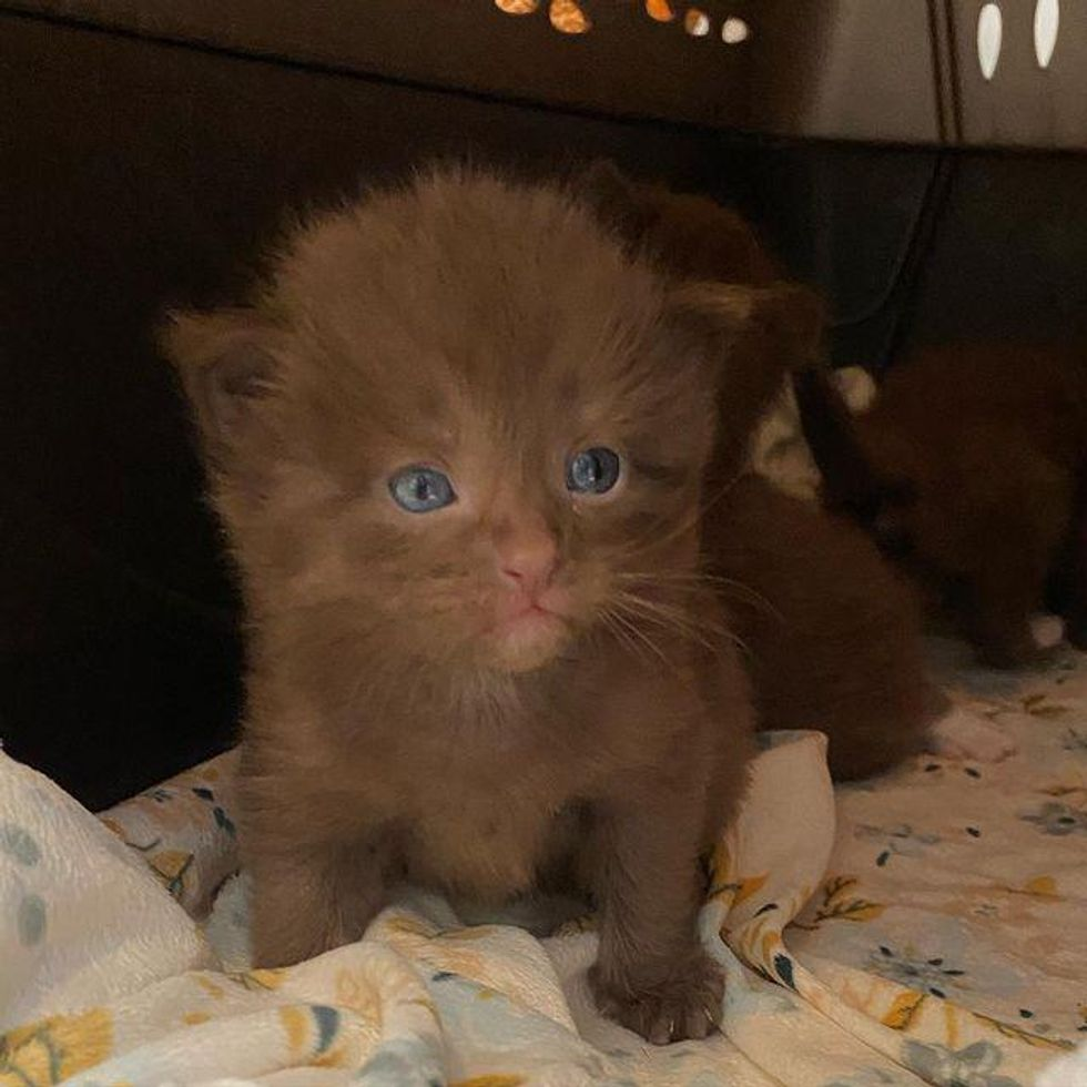 chocolate brown coat, brown kitten