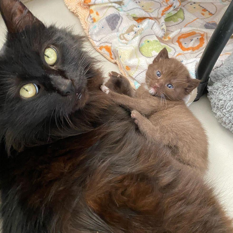 cat mom, kitten, chocolate brown fur