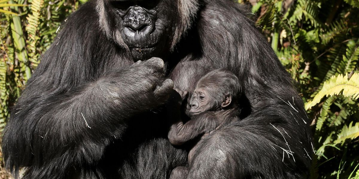 New Mom and Zoo Gorilla Bond Over Their Babies in Adorable Video