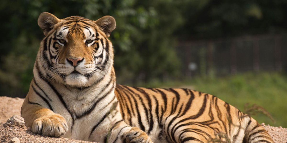 Man Spotted With Tiger in Houston Was Out on Bond for Murder, Police Say